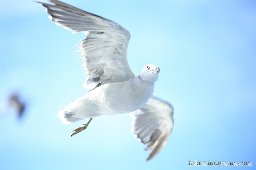 Seagull above the Sea of Japan 03