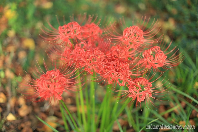 Telephoto of Lycoris radiata along Tama River