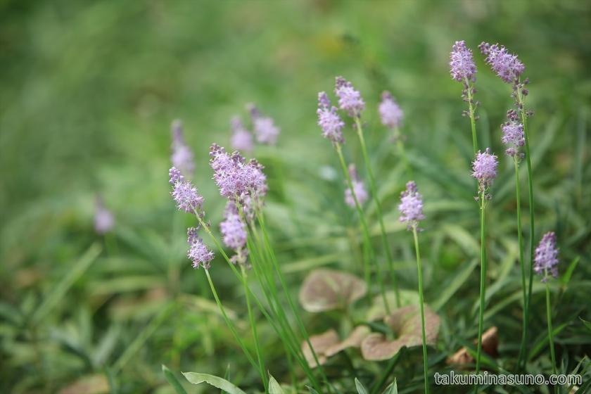 Telephoto of Scilla scilloides at Tamagawadai Park