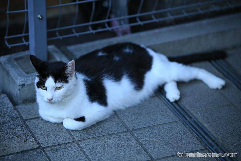 White and Black Cat at Yanakaginza