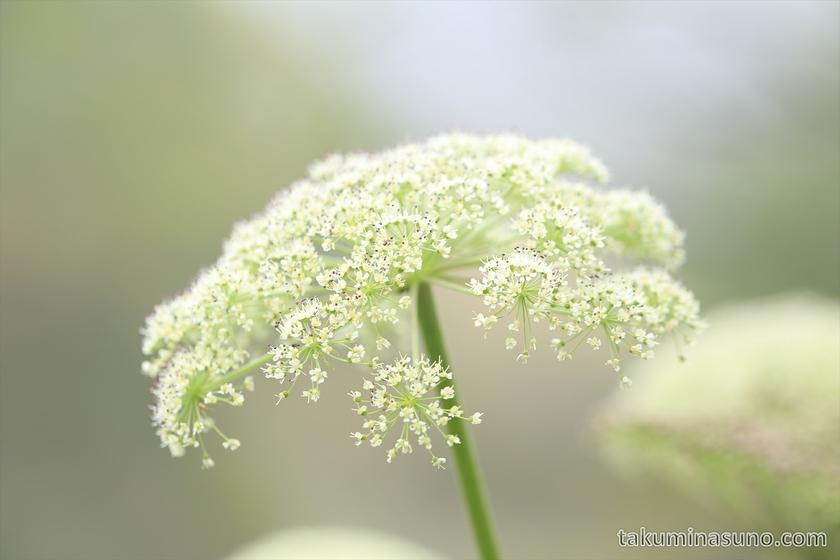 White cute flower at Mt Senjougatake