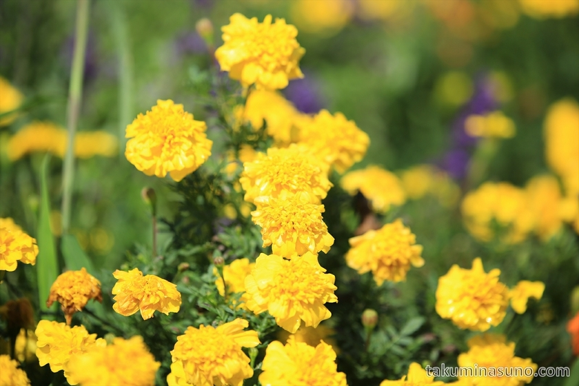 Yellow Marigold in Flower Bed in Sado Island