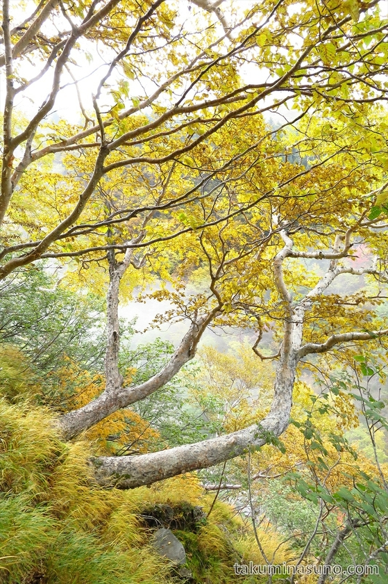 Yellow leaves and white trunk at Mt Senjougatake
