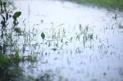 Pool Looks Like a Rice Field