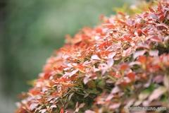 Autumn Colors of Enkianthus perulatus at Hatagaya Fudouson Temple