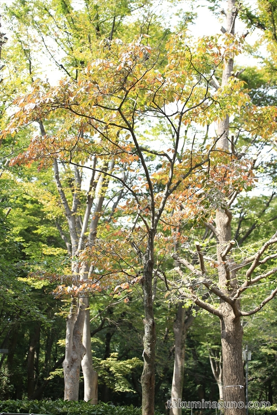 Autumn colors are about to start in Shinjuku Central Park