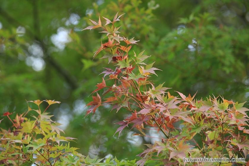 Autumn colors of Maple trees at Tamagawadai Park 01