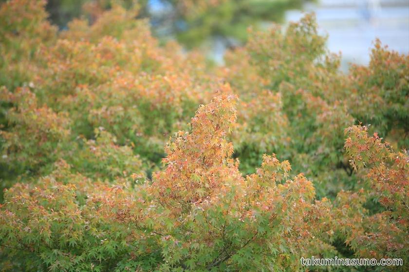 Autumn colors of Maple trees at Tamagawadai Park 02