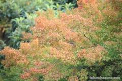 紅葉レポ2014 多摩川台公園、カエデの葉は色づき始め