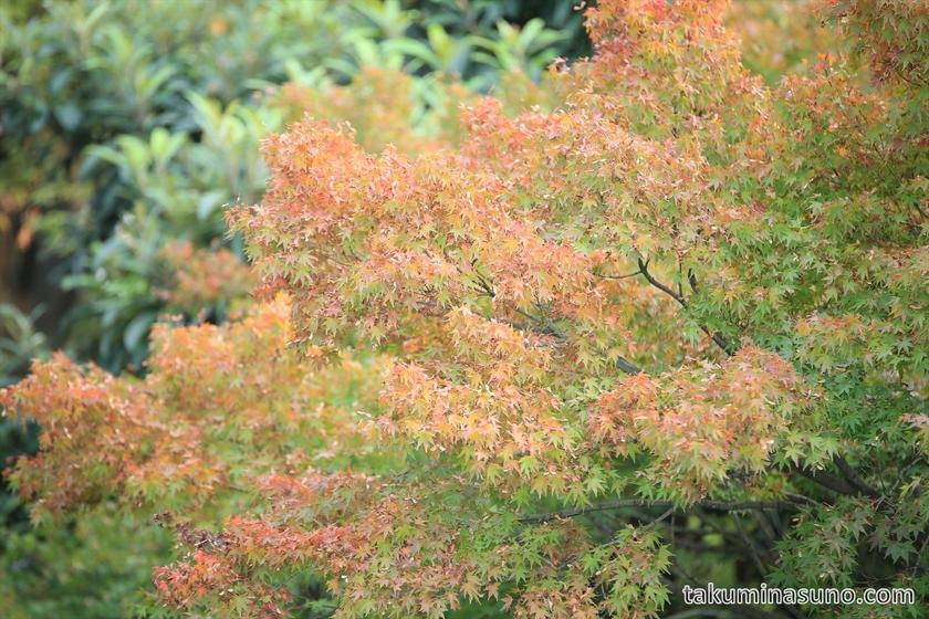 Autumn colors of Maple trees at Tamagawadai Park 03