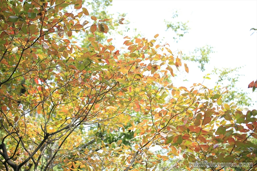Beginning of autumn colors in Shinjuku Central Park 1