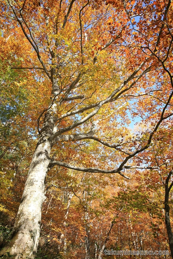 Big tree of autumn colors at Oze National Park
