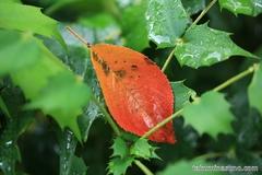 Autumn Leaf on Rainy Day