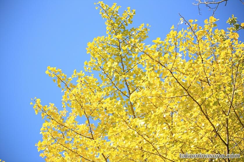 Gingko leaves in the sky at Sojiji Temple