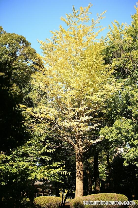 Ginkgo Tree at Sojiji Temple