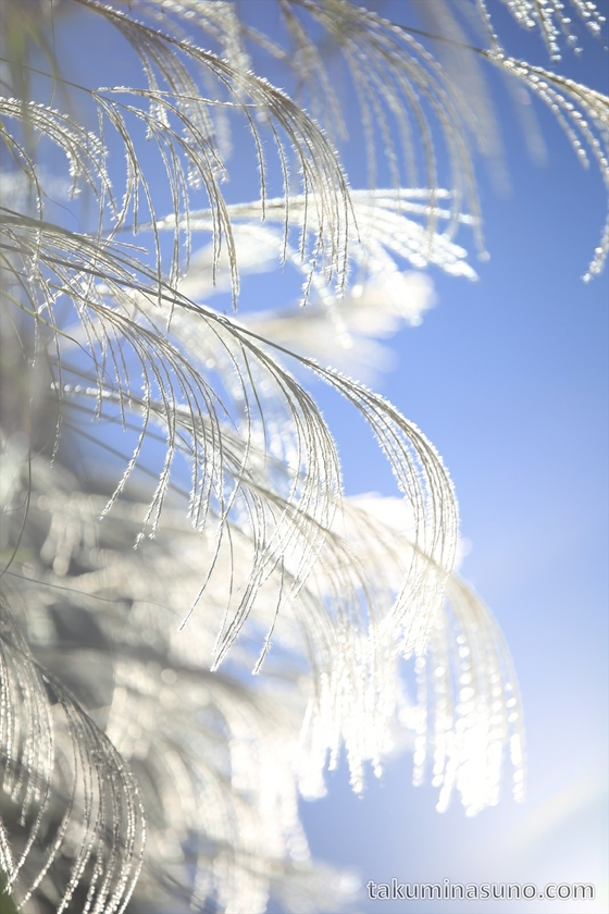Japanese Pampas Grass in the Daylight
