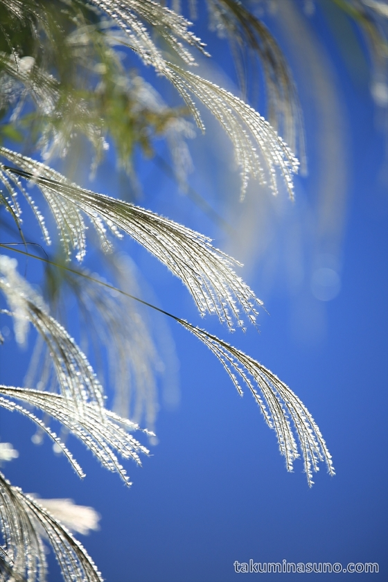 Japanese Pampas Grass in the Sky 2