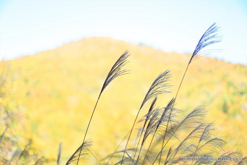 Japanese pampas grass at Sanpeitouge