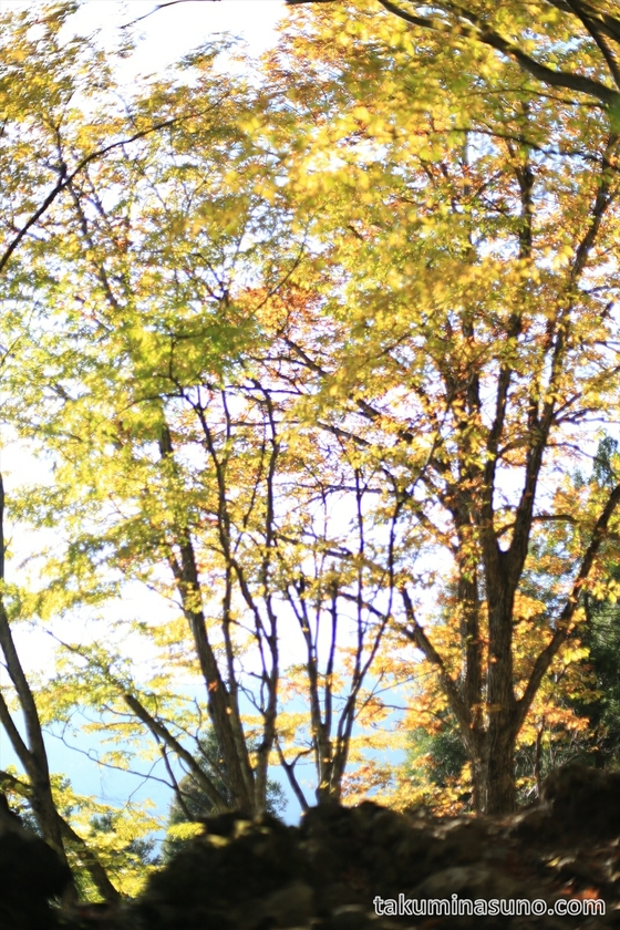 Leaves are shining thanks to sunshine from the west