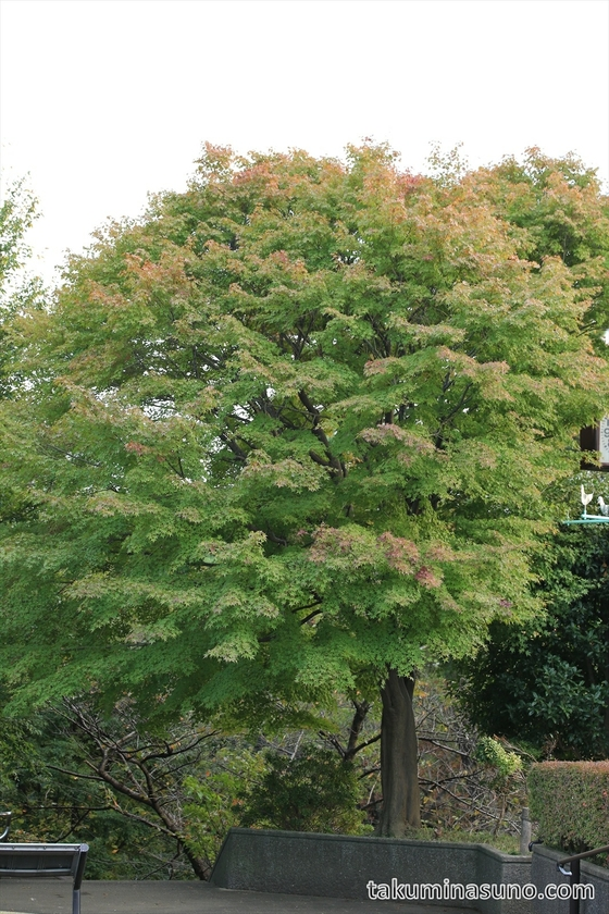 Maple trees are beginning to have autumn colors at Tamagawadai Park