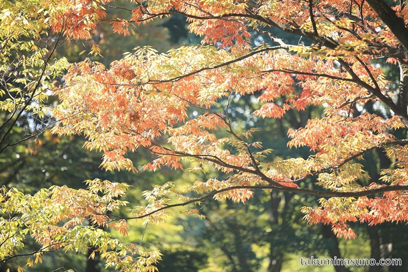 Orange and Yellow Leaves of Shinjuku Central Park landscape