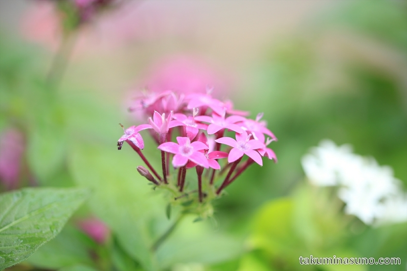 Pink Pentas lanceolata in Shinjuku from Tohoku Region