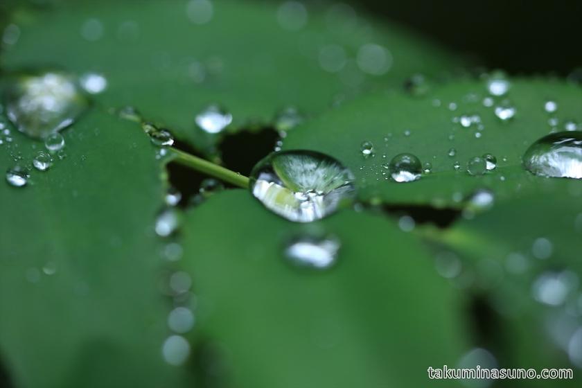 Raindrops on the Leaf at Shinjuku Central Park