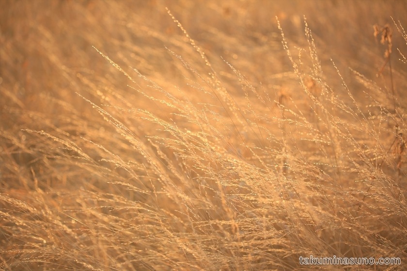 Sea of golden grass along Ozenuma Pond