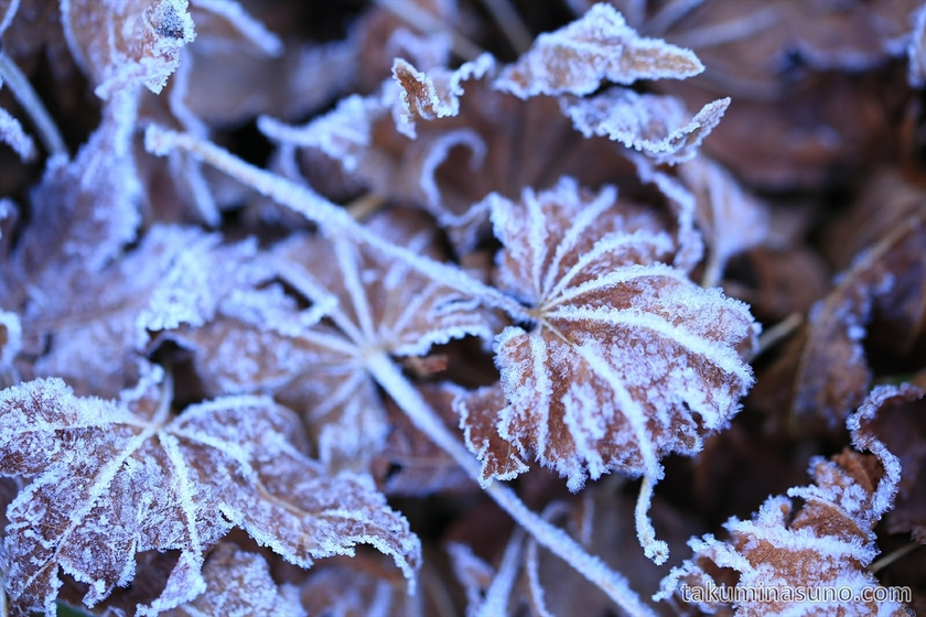 Severe frost makes maple leaves white at Ozegahara Marshland