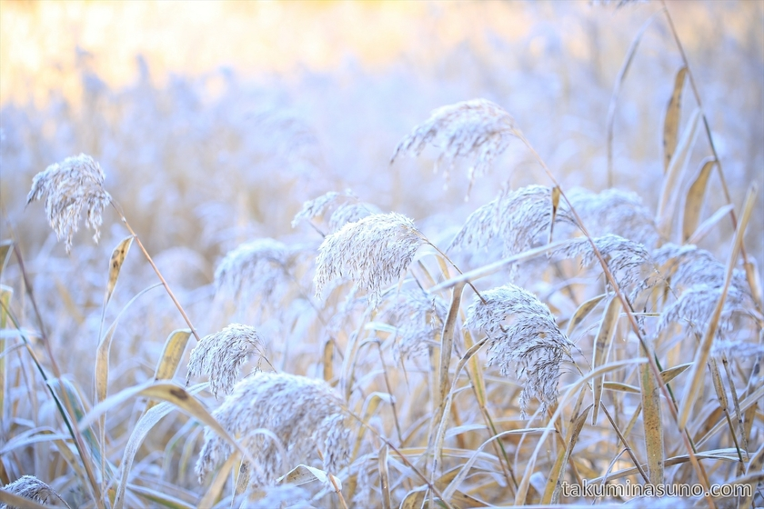 Severe frost makes straw plants white in Ozegahara Marshland