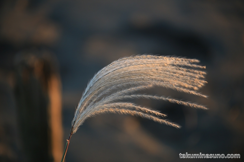 Sunrise gave magical impressions to Japanese Pampas Grass
