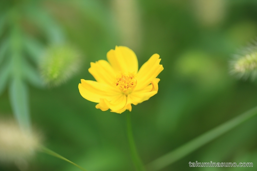 Yellow Cosmos sulphureus in Shinjuku