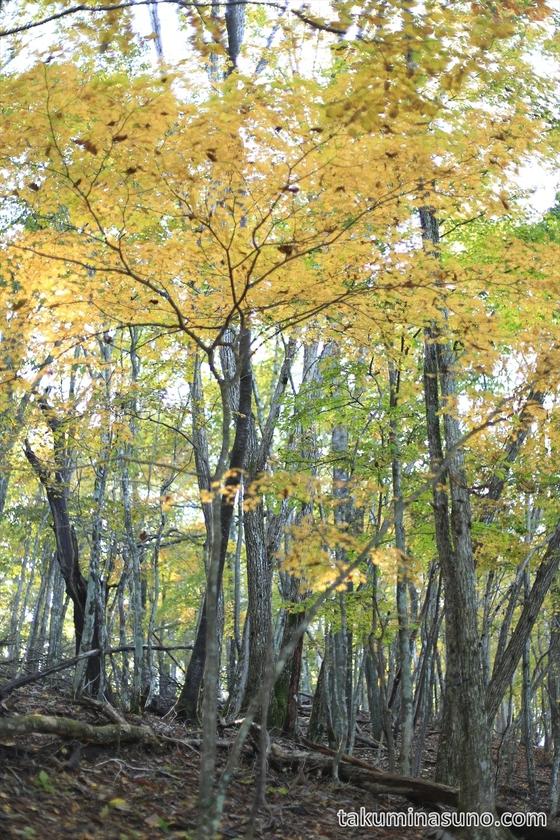 Yellow leaves of Mt Mutsuishi