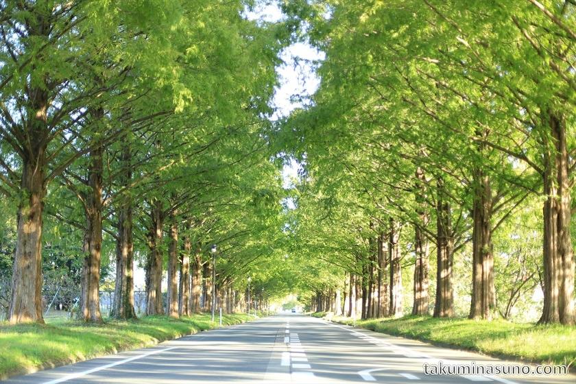 A Row of Metasequoia at Makino Shiga