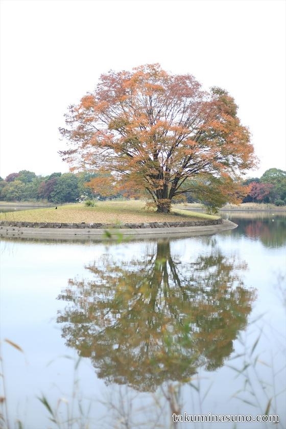 Big sakura tree at Showa Memorial Park