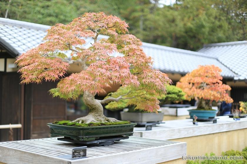 Bonsai at Showa Memorial Park