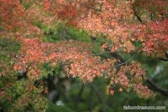 紅葉レポ2014 多摩川台公園の赤色は、もうすぐ準備完了