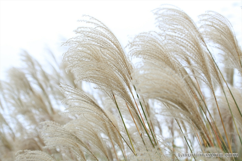 Fluffy Japanese pampas grass at Showa Memorial Park