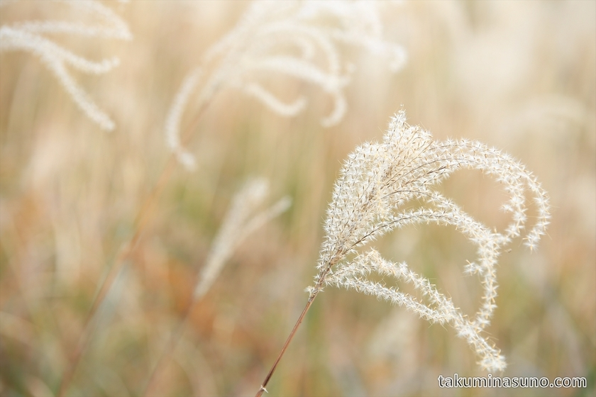Gentle and Fluffy Japanese Pampas Grass