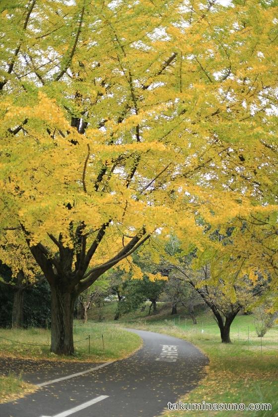 Gingko Cycling Road of Showa Memorial Park