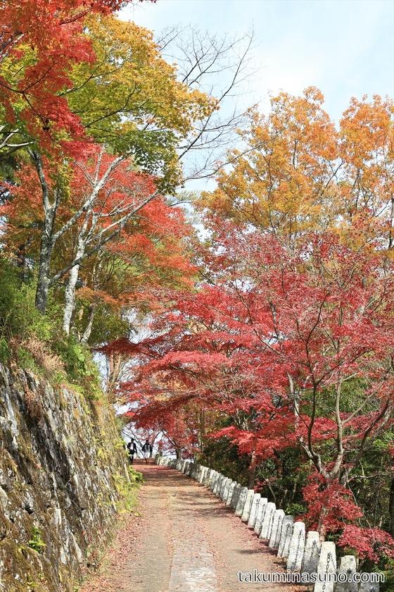 Japanese Maple Slope of Yoshino with Green and Orange