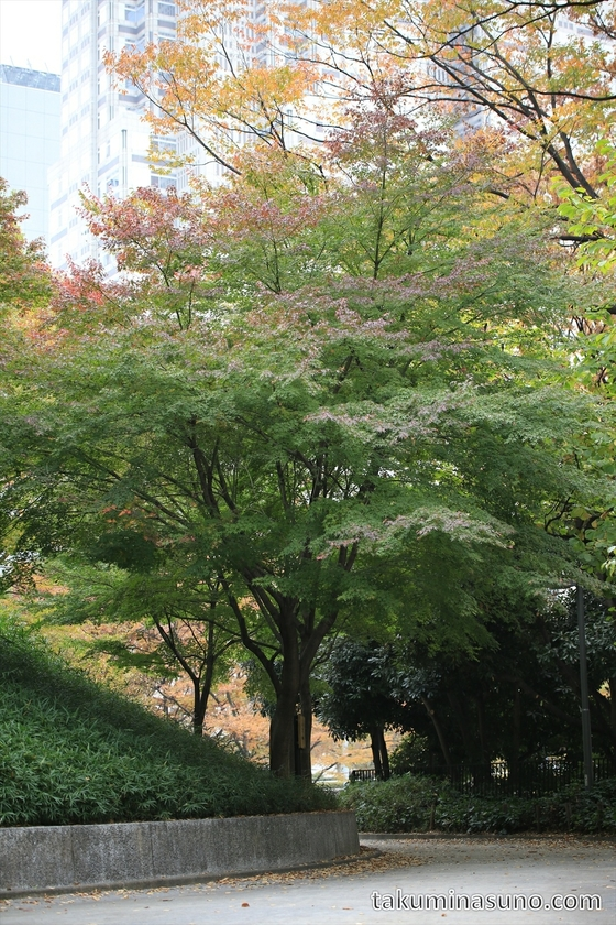 Japanese Maple Tree are not Red Yet at Shinjuku Central Park
