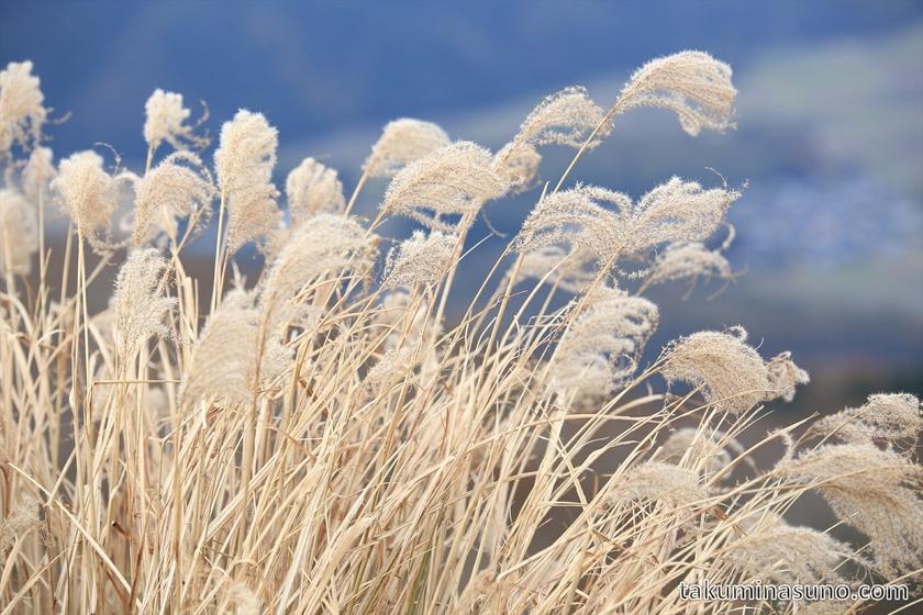 Japanese Pampas Grass at Peak of Mt Kampu