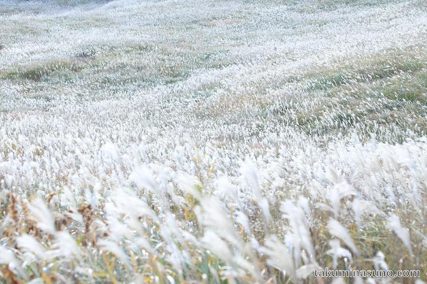 Japanese pampas grass of Sengokuhara Hakone 02