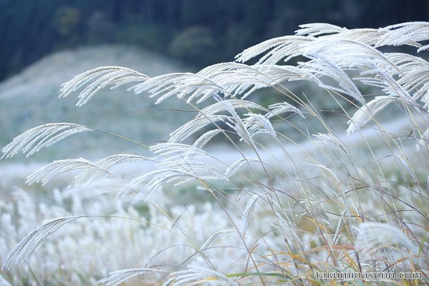 Japanese pampas grass of Sengokuhara Hakone 03