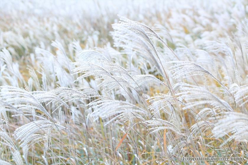 Japanese pampas grass of Sengokuhara Hakone 04
