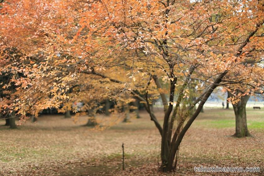 Lindera glauca at Showa Memorial Park