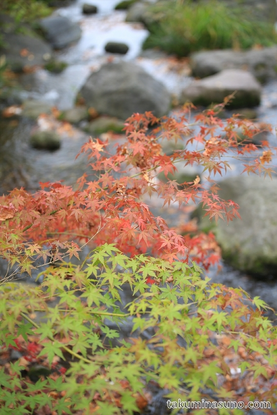 Maple leaves with river at Showa Memorial Park