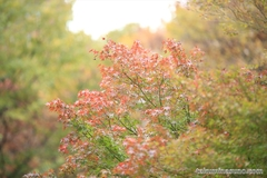 紅葉レポ2014 新宿中央公園、カエデが赤くなるのが待ち遠しいですね