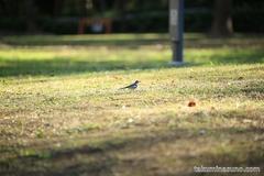 紅葉レポ2014 新宿中央公園のシジュウカラ